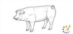 How to draw a pig
